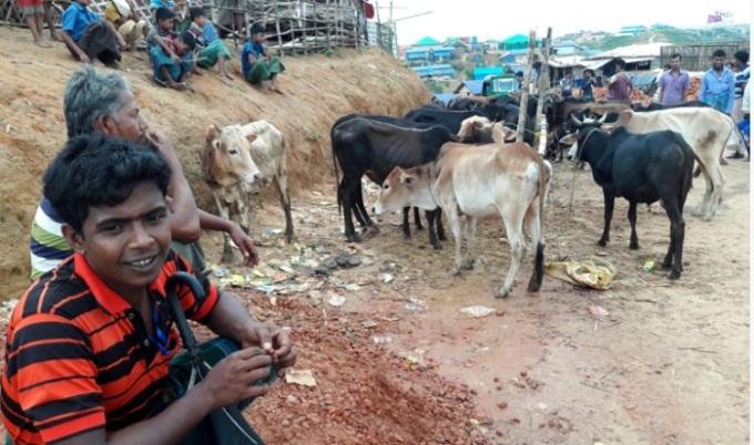 রোহিঙ্গাদের ঈদ উপলক্ষে আড়াই হাজারের বেশি কোরবানির পশু