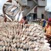 ভারতে আরো ২৫২০ টন ইলিশ রপ্তানির অনুমোদন