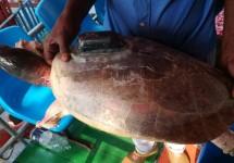সুন্দরবনের নদীতে ফের মিলল ট্রান্সমিশনযুক্ত কচ্ছপ