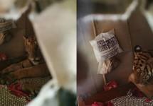 বন্যায় প্রাণ বাঁচাতে বাড়ির 'বিছানায়' বাঘ
