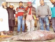 ১৩৭ কেজির কৈভোল মাছ লাখ টাকায় বিক্রি